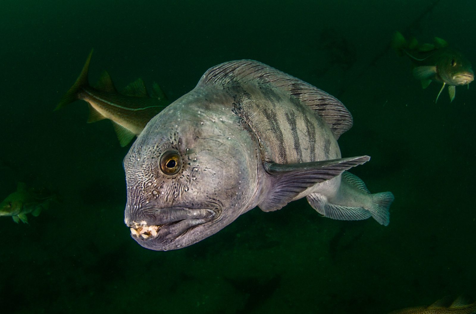 Wolfish spotted on diving tour in Strytan Iceland