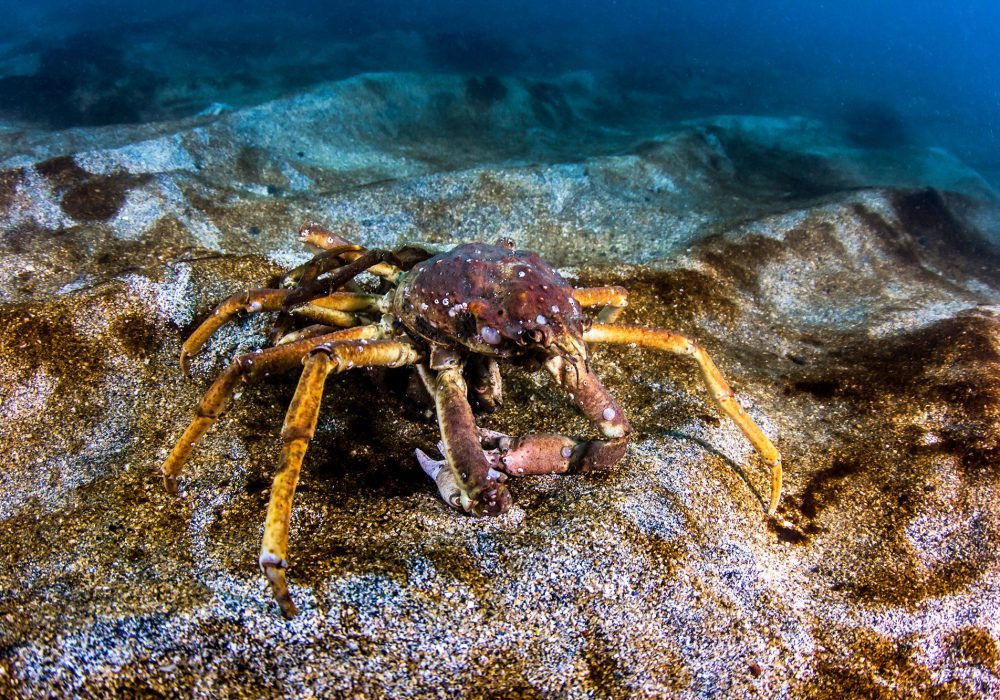 Crab spotted in the ocean on Gardur Diving tour in Iceland
