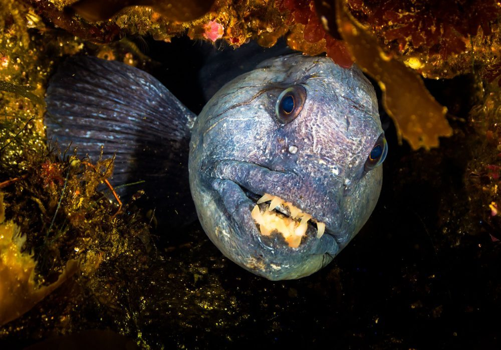 Wolf fish spotted on ocean scuba diving tout at Gardur in Iceland